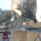 フワフワのチンチラミックスメス猫ちゃん