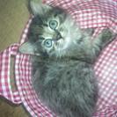 1ヶ月半になるメス猫ちゃんです